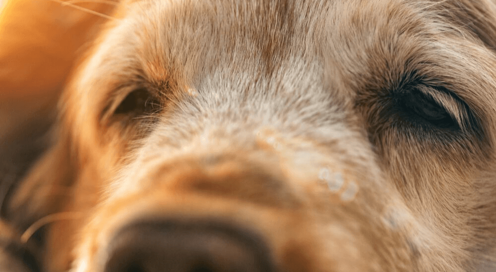 What You Need to Know about PRA-prcd in Dogs
