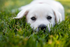 Cost of Dog DNA Test | Yellow Lab Puppy